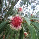 Eukalyptusblüten in verschiedenen Stadien I