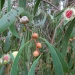 Eukalyptusblüten in verschiedenen Stadien III