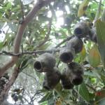 Eukalyptusblüten (naja) in verschiedenen Stadien V