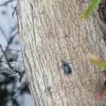 australisches Käfertier auf einem Floß
