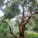 noch ein Eukalyptusbaum