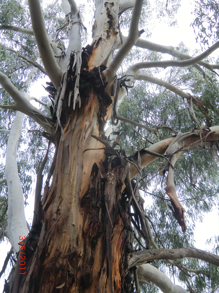 Eukalyptusbäume schälen sich oft