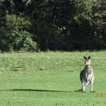 unsere ersten Känguruhs auf dem Golfplatz in Anglesea (Great Ocean Road/Victoria/AUS)