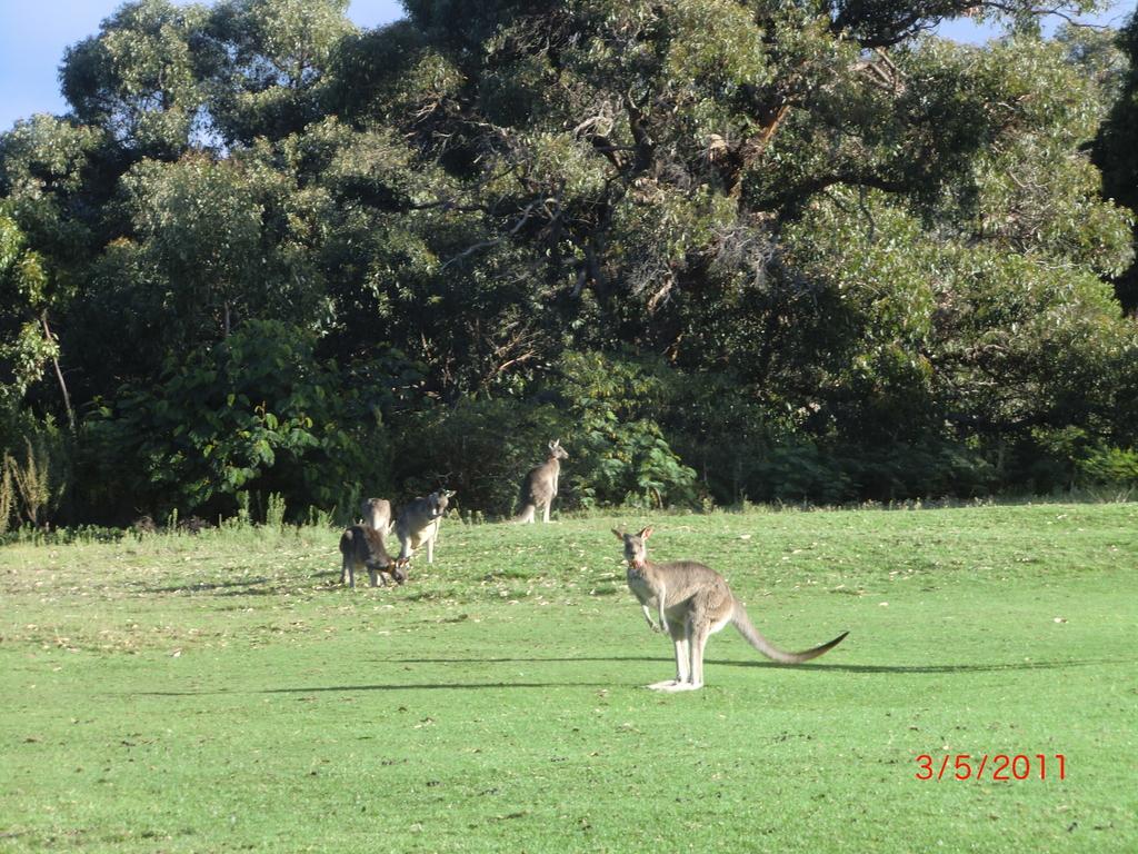 unsere ersten Känguruhs auf dem Golfplatz in Anglesea (Great Ocean Road/Victoria/AUS) II