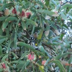 noch einmal Eukalyptus