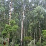 Eukalyptus-Wald nahe der Erskine Falls