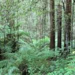 aber auch Farne gibt es in Australiens Wäldern
