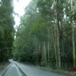 und durch einen weiteren Eukalyptus-Wald