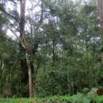und durch einen weiteren Eukalyptus-Wald II