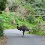 mitten auf der Straße steht das Emu vor uns - so ein Schlapps!