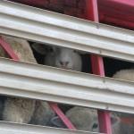 Parkplatz-Meeting: Schafe auf einem LKW