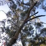 Nachmittagswanderung ab Halls Gap in den Grampians - Eukalyptus