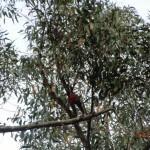 Nachmittagswanderung ab Halls Gap in den Grampians - Rosella im Eukalyptusbaum