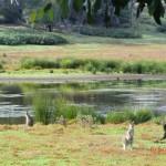 australisches Wildlife nahe Halls Gap, Grampians