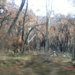 verbrannte Bäume?