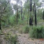 Känguruh-Schwanz-Pflanze (Grasbaumpflanzen), MacKenzie Falls, Grampians