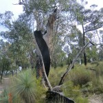 verdrehter Baum, MacKenzie Falls