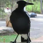 freche Magpie (Elstervogel), MacKenzie Falls