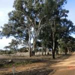 schöner Parkplatz unter Eukalyptusbäumen und Rosellas in Stawell