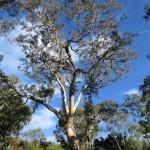 Langi Ghiran State Park: Eukalyptus