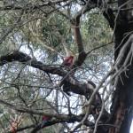 Langi Ghiran State Park: Rosella im Eukalyptus