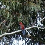 Langi Ghiran State Park: Rosella im Eukalyptus II