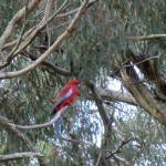 Langi Ghiran State Park: Rosella im Eukalyptus III