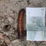 Langi Ghiran State Park: Riesen-Larven-Hülle (und Wolfis 5€-Schein, den er seit 8 Mo. immer bei such trug)