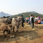 Bac Ha Sonntagsmarkt, Wasserbüffel